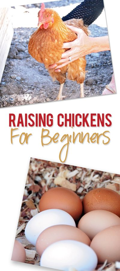 How to Raise Chickens for Beginners: Some tips for a beginner chicken farmer (or…