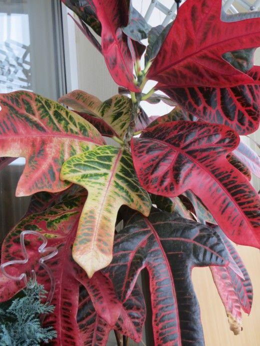 Кодиеум (Codiaeum) — вечнозеленый кустарник с необыкновенно красивыми кожистыми листьями разной формы (ланцетной, овальной, спиральной) и различной расцветки. На растении одновременно могут находиться листья, окрашенные в желтый, оранжевый, зеленый, красный и темно-пурпурный цвет. Окончательная конфигурация и окрас листьев формируются только с возрастом. В комнатных условиях кодиеум цветет очень редко. Его цветки собраны в пазушные соцветия. Они невзрачны и декоративной ценности не ...