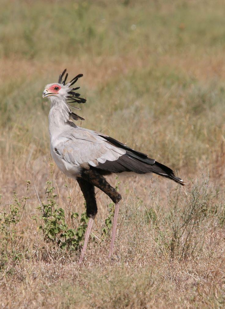 Secretary Bird Sagittarius serpentarius - Google Search