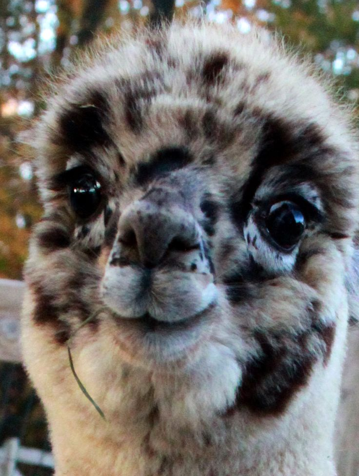 Harlequin Appy Alpaca