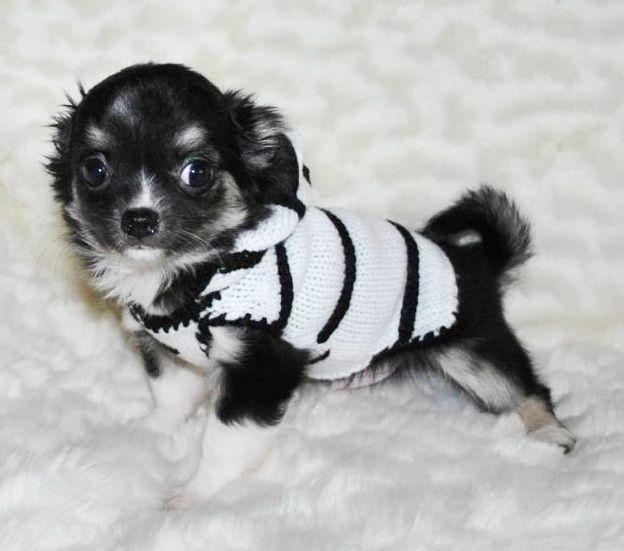 Mejores 3308 imágenes de Chihuahua Cuties en Pinterest | Perritos ...