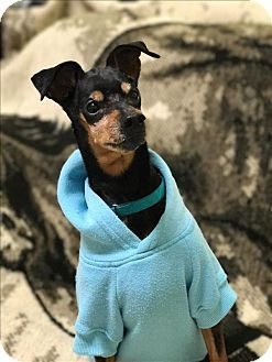 Silverdale, WA - Miniature Pinscher Mix. Meet Phinneus, a dog for adoption. http://www.adoptapet.com/pet/17515670-silverdale-washington-miniature-pinscher-mix