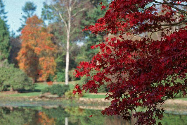 Beautiflu autumn colours of Acer palmatum at Sheffiled Park & Gardens http://www.nationaltrust.org.uk/sheffield-park-and-garden