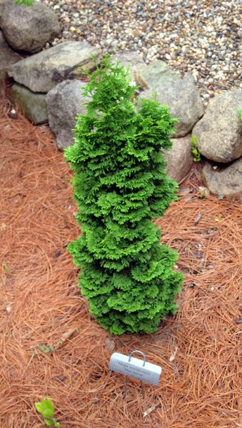 43 best images about dwarf evergreens for containers as a for Small slow growing evergreen trees