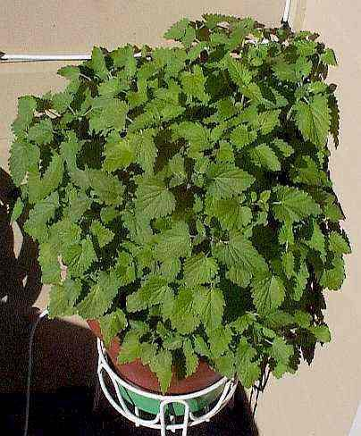 growing catnip all over your garden deters aphids and japanese beetles. Your kitty will thank you too.
