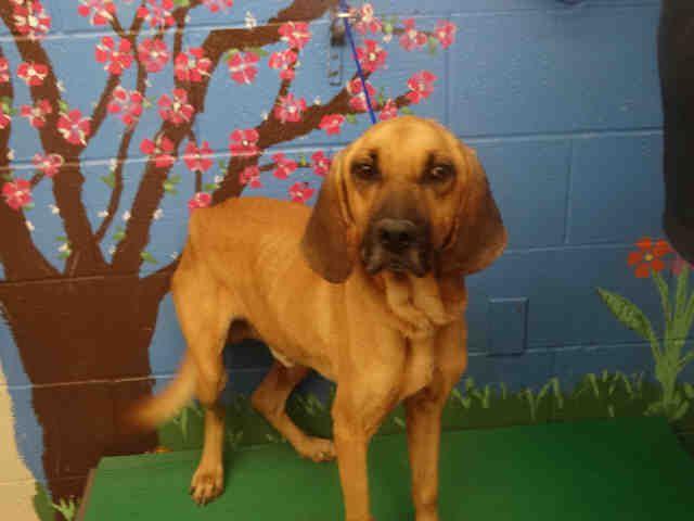 Bloodhound dog for Adoption in Waco, TX. ADN-748540 on PuppyFinder.com Gender: Male. Age: Senior