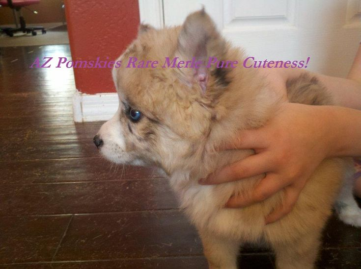 pomsky puppies for sale in california | Pomsky Puppies For Sale In Wny | Pomsky Picture