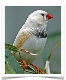 Chestnut Flanked White English Zebra Finch
