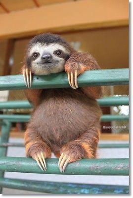 Cute Animal Sloth Photo Refrigerator Fridge Magnet Size 2″x3″