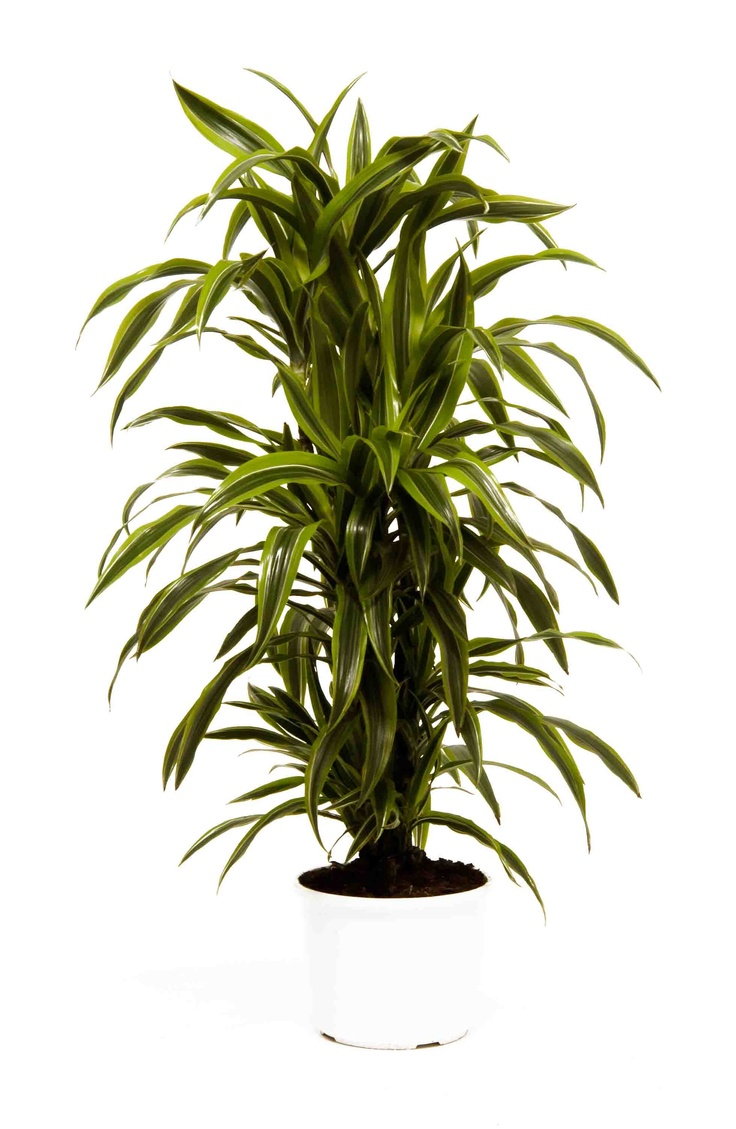 great office plants. Dracaena Lemon Lime - This Is A Branched Version Which More Expensive But Also Much Bushy. Great Looking Plant With Its Different Shaded Green Office Plants