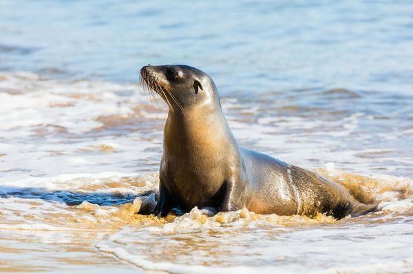Caracteristicas De Los Leones Marinos O Lobos Marinos Leon Marino Islas Galapagos Animales