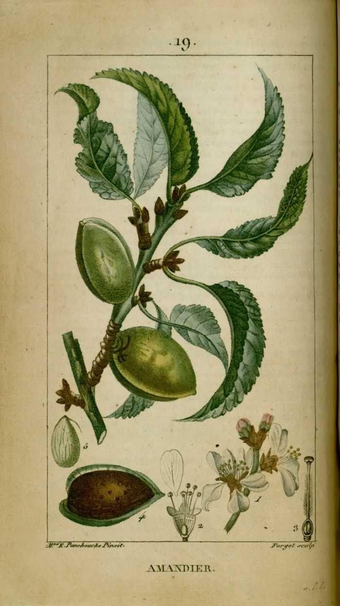 Img dessins gravures de plantes medicinales for Plante 1 euro paris