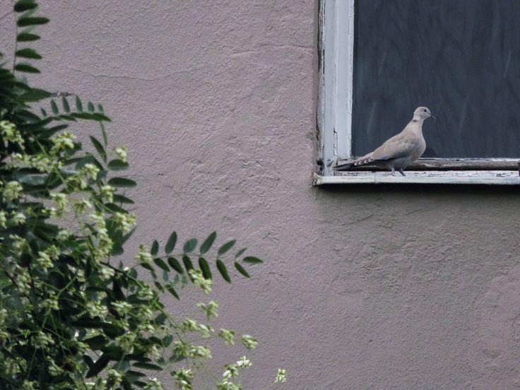 Little pigeon on the ledge
