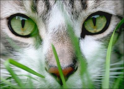 green eyes through the green grass