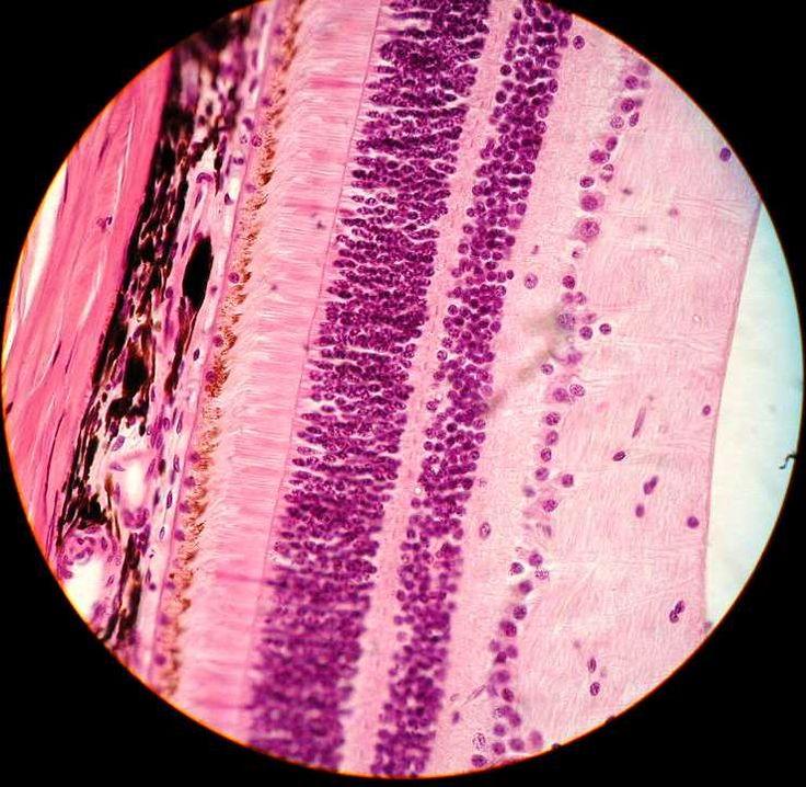 capas Histologicas de la Retina
