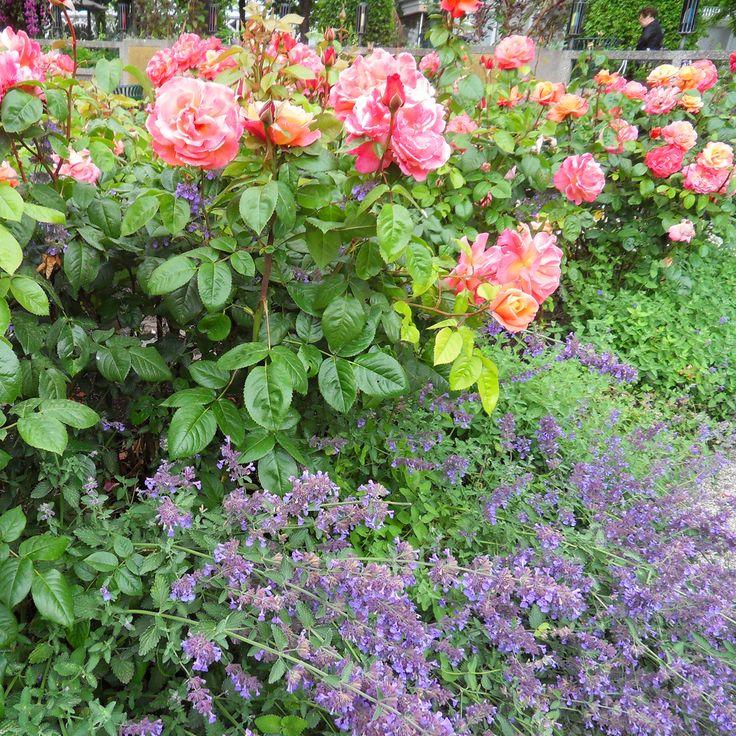 rosor lavendel - Sök på Google