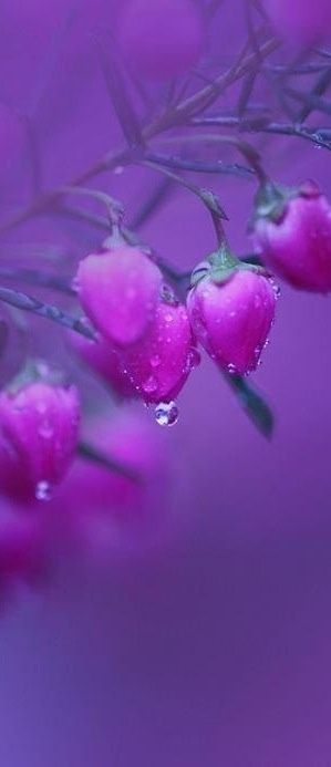 {Now Tears of Hope} Like the dew from this Beautiful Purple Flower made by GOD, I to cried when you left without a word*JESUS has helped me to Forgive the situation & to Forgive you Joseph*On my heart was to Pray for you Joseph & to Pray for the Restoration of us in JESUS Name*Amen