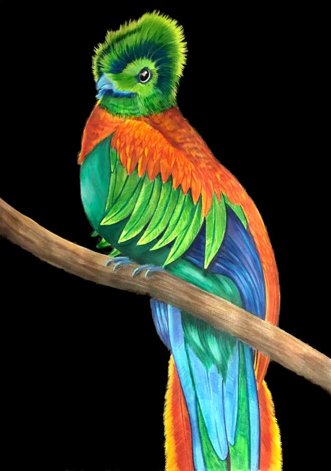 Resplendent Quetzal From Intricate Ink Animals In Detail Volume 3 By Tim Jeffs Coloured By Me Timjeffs Timjeffsart Intricateinkanimalsindetail Quetzal