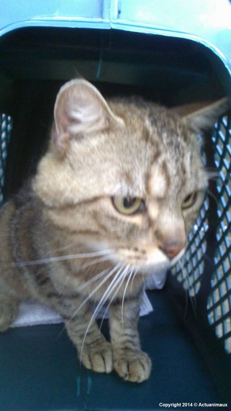Click to Help | This poor cat was found by a man who was walking his dog in the wilderness along a path férrée August 16. He was surprised to discover a poor terrorized cat, locked in his crate smeared w/excrement, no food, no water, waiting for death, the cage lodged in the bushes! Your clicks will pay for deworming, vaccination, viral tests, castration and identification. (Google Translated from French to English) | You may click up to five times for each animal once a day.