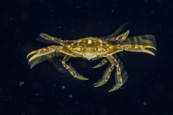 """Michael O'Neill fotografierte diese Krabbe von der Größe einer Dollarmünze beim Blackwater Diving in Florida. """"Wenn ich in den pechschwarzen Ozean eintauche, fühle ich mich wie ein Astronaut auf einem Weltraumspaziergang, nur dass ich einen Sauerstofftank auf dem Rücken und eine Unterwasserkamera habe"""", sagt er. Um dieses Bild zu schießen, kombinierte er einen Blitz mit einer langsamen Belichtungszeit. So fing er auch die Bewegungen der Krabbe ein. #Krabbe #Florida #Ozean #Unterwasserwelt"""