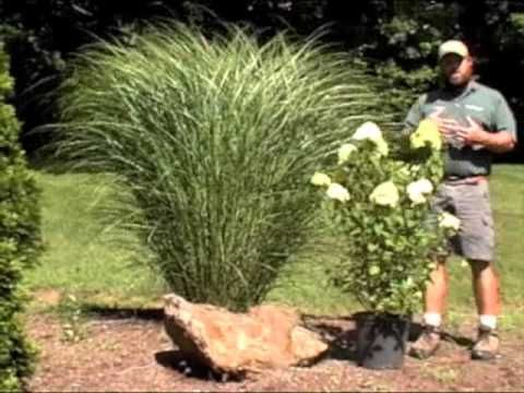 Gardening With Perennial Grasses Amp Limelight Hydrangeas