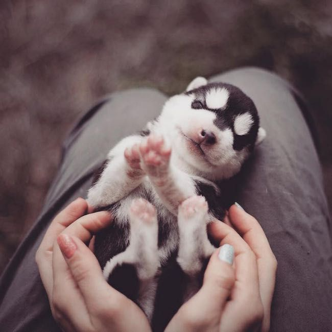 A Load of Cute and Fluffy Siberian Husky Puppies by Erica Tcogoeva l  #photography #portrait #cute #siberianhusky