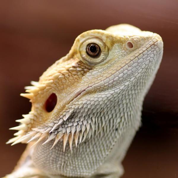 Dragón Barbudo: características, fotos y vídeos - ExpertoAnimal