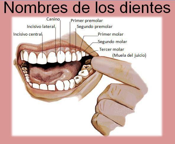 Nombre de Los dientes