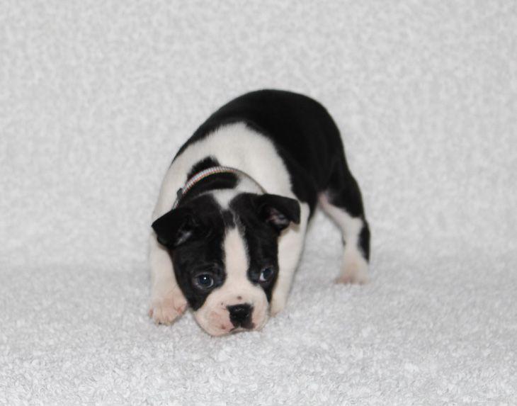Harley Male Akc Boston Terrier Puppy For Sale In Grabill In