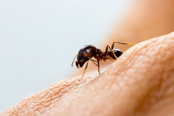 picaduras de hormigas