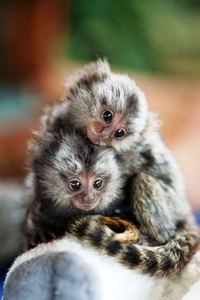 Yavru  Pigme Marmoset ya da cüce maymunlar