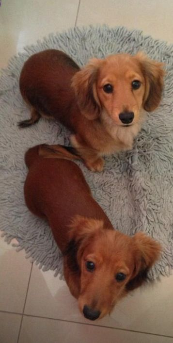Cute long haired doxies!