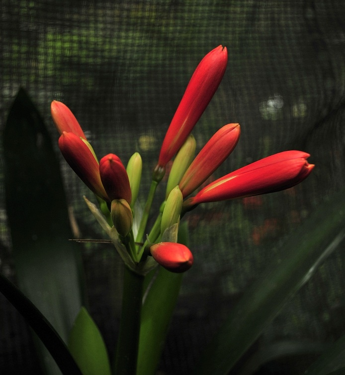 a red clivia in bud