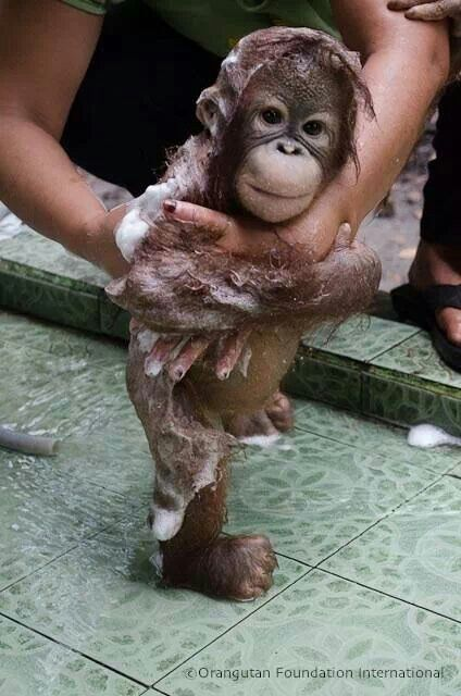 Rescued baby orang gets a bath!