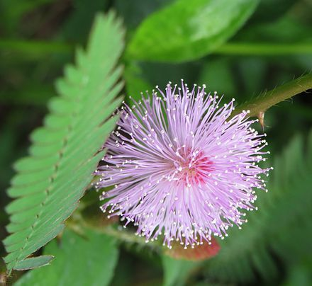 TOUCH ME NOT PLANT   Mimosa pudica - Wikipedia