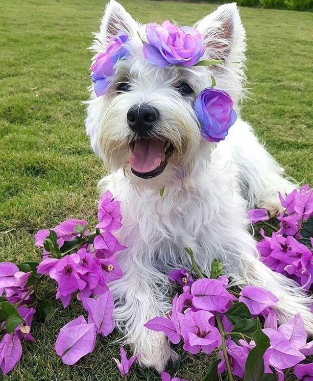 Beautiful springtime Westie!