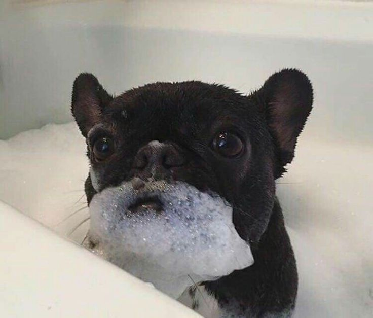 Bubble beard Frenchie Photo Credit: https://m.facebook.com/groups/365451653528719?view=permalink&id=1233036173436925. Nicky Brooks in Cool Dog Group