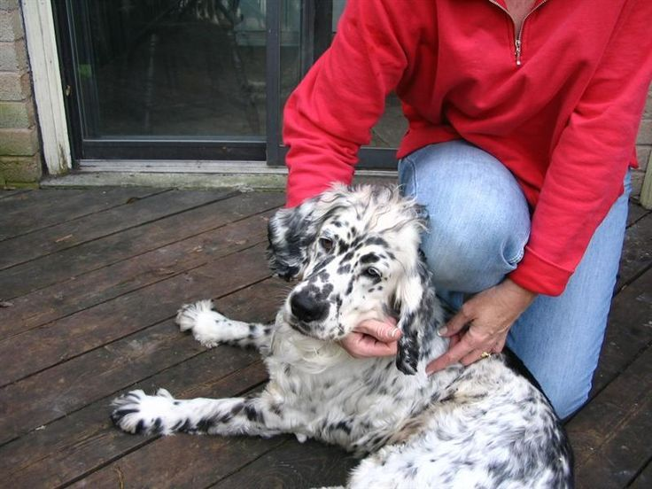 Golden Retriever / Dalmatian Mix