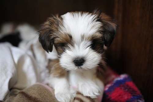shih tzu maltese mix..... Can I have you??