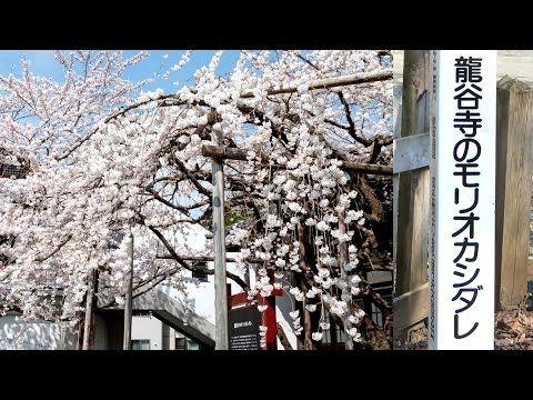 見ごろ♪ 龍谷寺の桜(2014_04_22撮影)