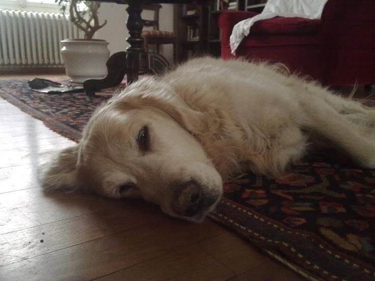 Dreaming Tristan , golden retriever