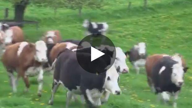Diese Kühe sollten eigentlich geschlachtet werden, doch sie wurden dank einer Wohltätigkeitsorganisation gerettet