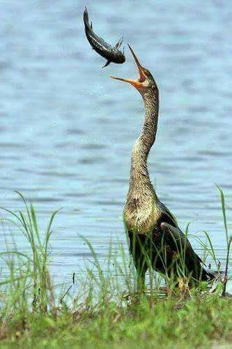 Anhinga Bird Catches A Fish Sideways And Flips It To Go Down Its Throat Called Snake