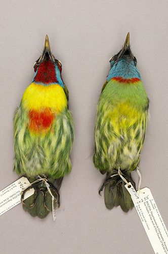 Male and Female Versicolored Barbet | Flickr - Photo Sharing!