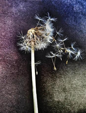 The Last Dance - modern contemporary nature dandelion weed flower macro fine art photograph spring inspirational minimalistic dreamy light on Etsy, $13.00