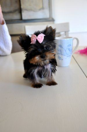 Micro Teacup Yorkie Princess  9 oz at 11 weeks  AKC Registered  The Ultimate Pocket Puppy!  Sold