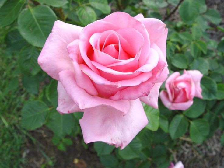 Princess Margaret Had A Rose Named After Her A Beautiful
