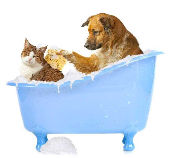 Descubra Agora como dar Banho em Cachorros e Gatos na sua Casa. Para nós o banho diário é sinal de higiene, mas para os nossos Pets a história é outra. Hoje eu vou te explicar um pouco sobre isso para te ajudar a saber o que fazer e o que não fazer quando o assunto é higiene.  A partir dos 2 meses de idade você já pode dar banho no seu Pet, mas o ideal é você fazer isso em casa até ele completar todas as vacinas. Escolha dias e horários mais quentes, use água morna, shampoos...