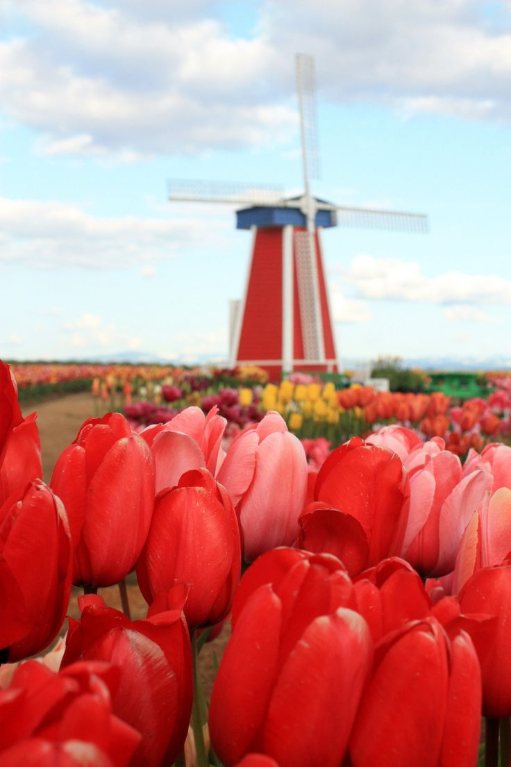 Old fashioned windmill surrounded by tulip fields 71