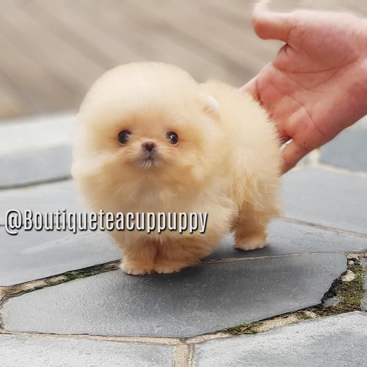 Baby Mango Tiny Rich Vibrant Color Micro Orange Pomeranian Available Pomeranian Pomeranian Puppy Teacup Puppies